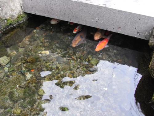しまばら水屋敷の泳ぐ鯉