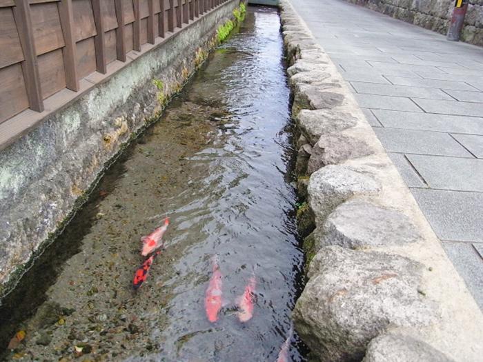 水路を泳ぐ鯉